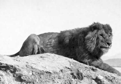 Ausgestorbene Tiere in Tunesien: Der Berberlöwe
