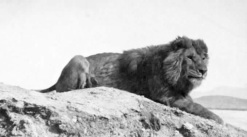 Berberlöwe um 1893