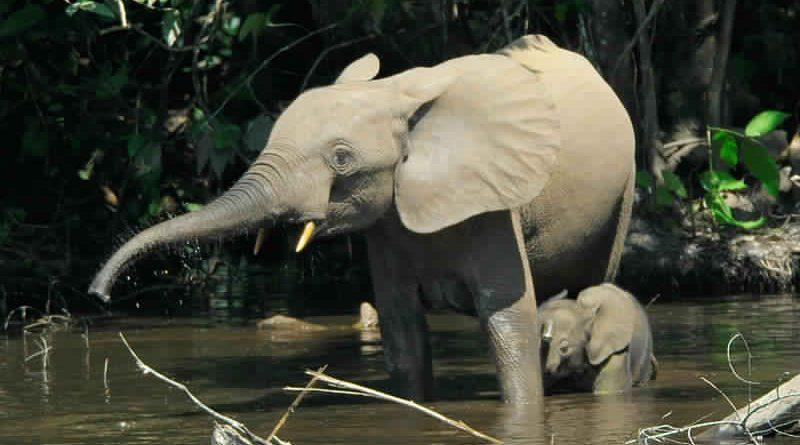 Savannen-Elefant (Loxodonta africana) und Waldelefant (Loxodonta africana cyclotis)