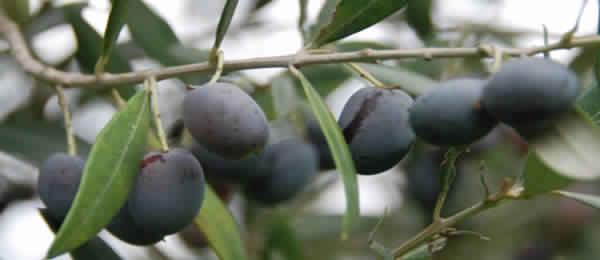 Olivensorten Tunesien Chétoui