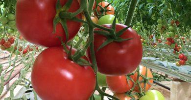 Produktion von Tomaten in Tunesien um 43% über den Zahlen des Vorjahres