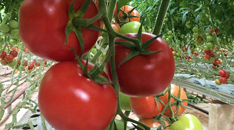 Tomaten - Das Unternehmen - Freund der Schulen Gabes