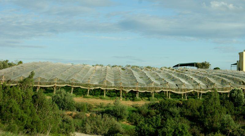 Nabeul: Leichter Anstieg bei der Traubenernte 2018