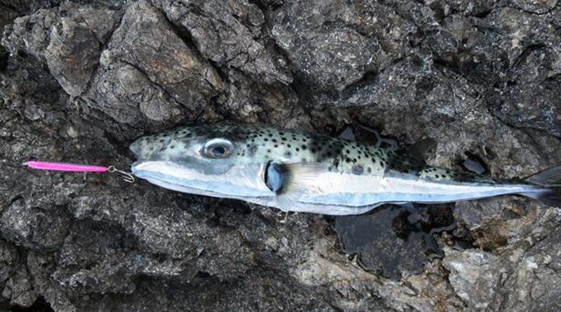 Lagocephalus Sceleratus oder auch Kaninchenfisch