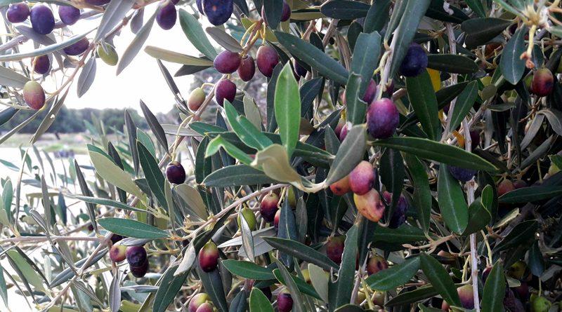 Symbolfoto: Olive am Baum