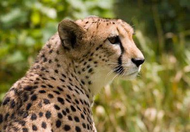 Ausgestorbene Tiere in Tunesien: Der nordwestafrikanische Gepard
