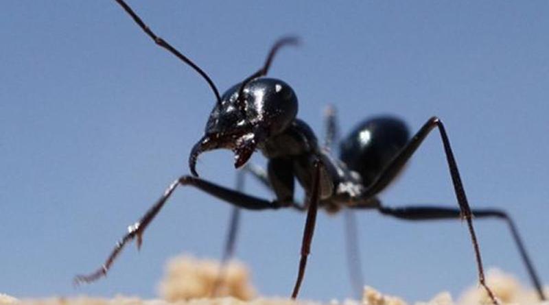 Wenn die Ameise von der Nahrungssuche in ihr Nest zurückkehrt, vollbringt sie eine navigatorische Meisterleistung. Markus Knaden / Max-Planck-Institut für chemische Ökologie
