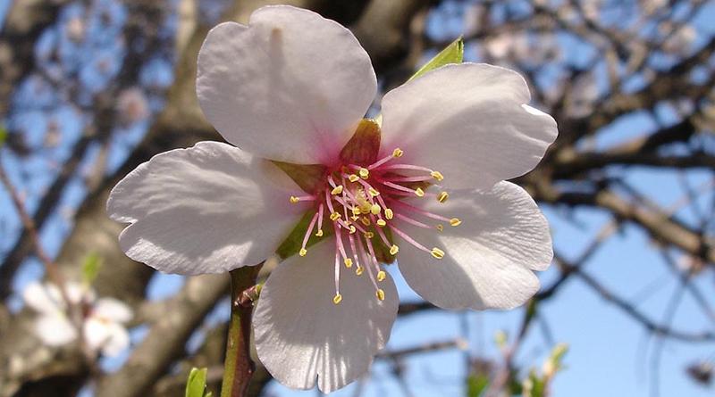 Mandelblüte - Von Jeantosti in der Wikipedia auf Französisch - CC BY-SA 3.0, https://commons.wikimedia.org/w/index.php?curid=5678222