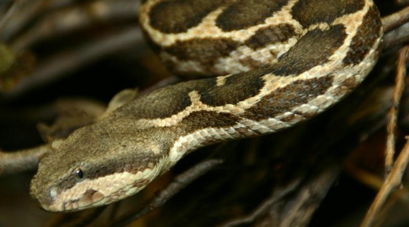Giftige Tierarten in Tunesien: Atlasotter (Daboia mauritanica; Syn. Macrovipera mauritanica)