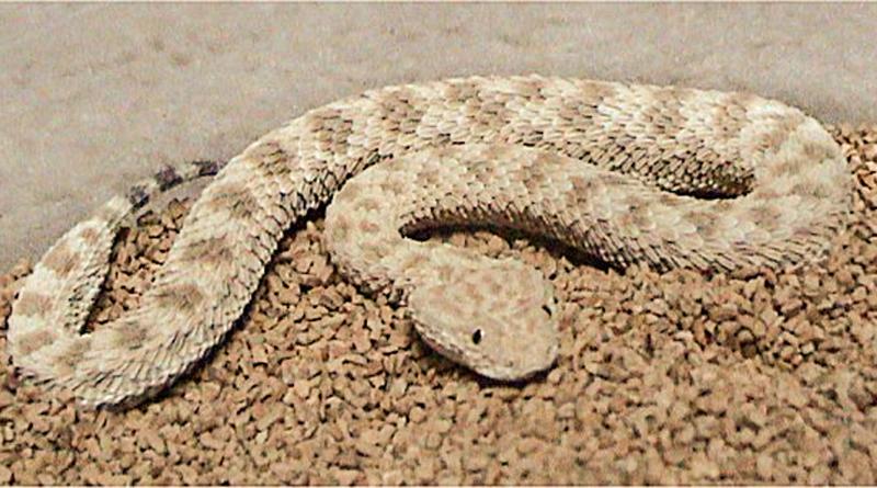Giftige Tierarten in Tunesien: Avicennaviper (Cerastes vipera) - Bild: CC BY-SA 2.5, https://commons.wikimedia.org/w/index.php?curid=2288293