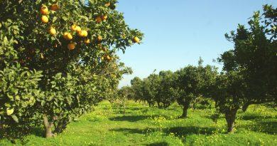 Zitrusplantage auf Cap Bon