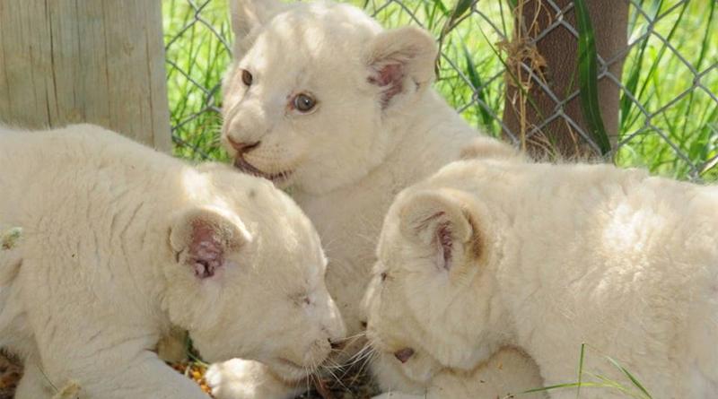 Im Januar 2019 geborene weiße Löwenbabies - Foto: Friguia Park