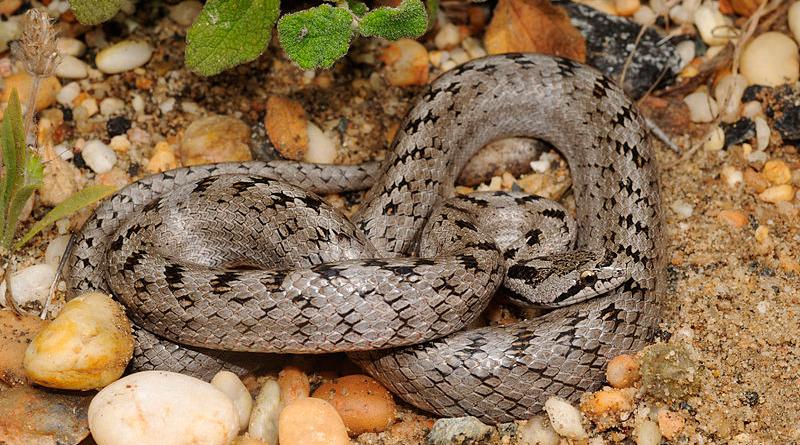 Girondische Glatt- oder Schlingnatter (Coronella girondica) - Bild: Benny Trapp - Eigenes Werk, CC BY 3.0, https://commons.wikimedia.org/w/index.php?curid=12637524