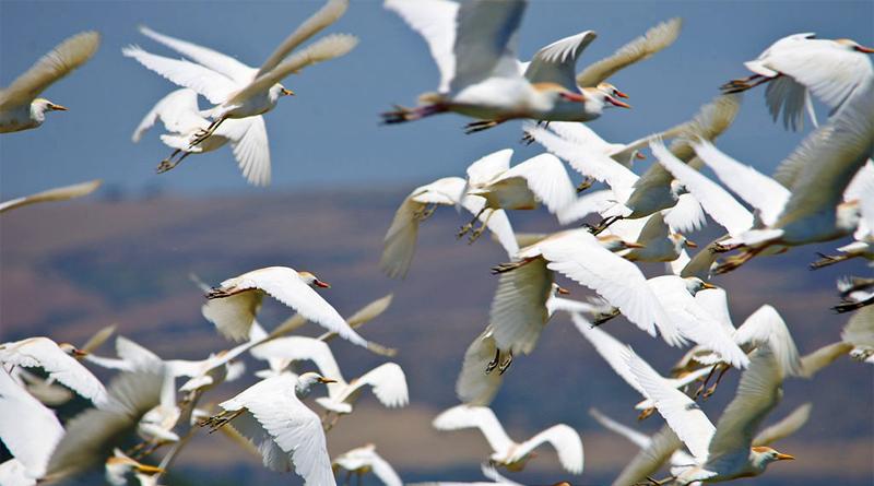 Zugvögel am Ichkeul - Bild: Von Elgollimoh - Eigenes Werk, CC BY-SA 3.0, https://commons.wikimedia.org/w/index.php?curid=40184725