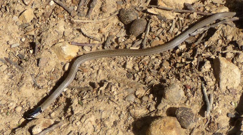 Giftige Tierarten in Tunesien: Kapuzennatter (Macroprotodon cucullatus) - Bild: gailhampshire - Flickr: Hooded Snake. Macroprotodon cucullatus., CC BY 2.0, https://commons.wikimedia.org/w/index.php?curid=33266987