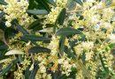 Olivenblüte am 30. April 2019 in Akouda, Gouvernorat Sousse