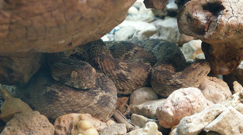 Giftige Tierarten in Tunesien: Ägyptische Sandrasselotter (Echis pyramidum) - Bild: TimVickers - Eigenes Werk, Gemeinfrei, https://commons.wikimedia.org/w/index.php?curid=5697043