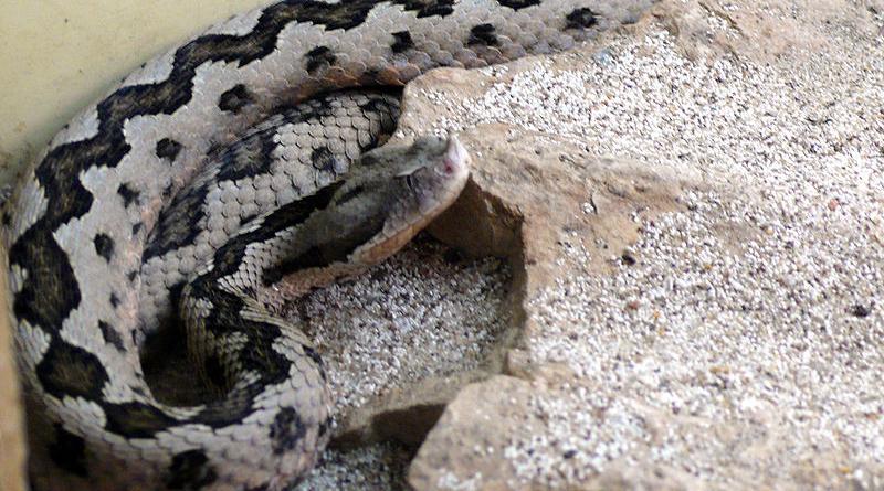 Giftige Tierarten in Tunesien: Stülpnasenotter (Vipera latastei) - Bild: TimVickers - self-made, St Louis zoo, Gemeinfrei, https://commons.wikimedia.org/w/index.php?curid=3569167