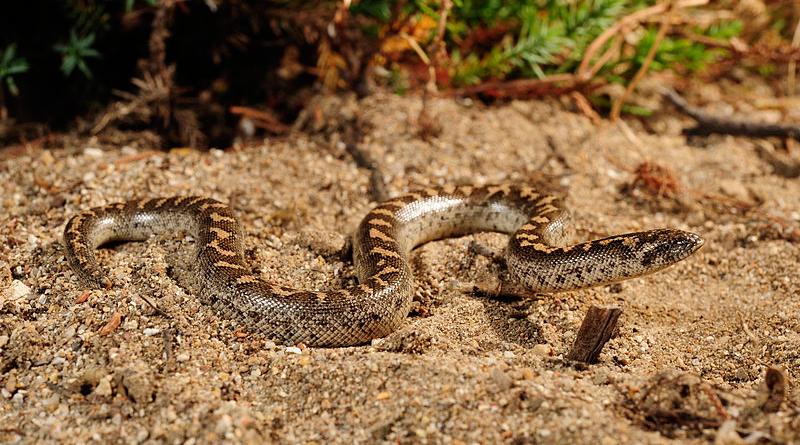 Westliche Sandboa (Eryx jaculus) - Bild: Benny Trapp - Eigenes Werk, CC BY 3.0, https://commons.wikimedia.org/w/index.php?curid=12631484