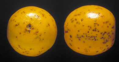 Orange mit Pilzerkrankung Guirnardia citricarpa (CBS) - Bild: P. Barkley - Biological and Chemical Research Institute, Bugwood.org, CC BY-SA 3.0, https://commons.wikimedia.org/w/index.php?curid=22937790