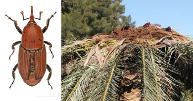 Rüsselkäfer und zerstörte Palme - Käfer von Didier Descouens - Eigenes Werk, CC BY-SA 4.0, Link | Palme von Küchenkraut - Eigenes Werk, CC BY-SA 3.0, Link