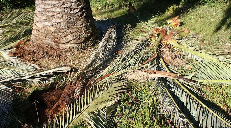 Die an der Basis ausgefressenen Palmwedel fallen aus der Krone - Bild: Von Küchenkraut - Eigenes Werk, CC BY-SA 3.0, https://commons.wikimedia.org/w/index.php?curid=23444418