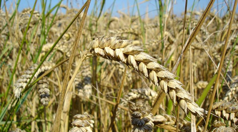 Getreideernte 2021