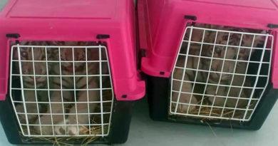 Am 15. Juni 2019 beschlagnahmte weiße Tigerbabies aus dem Park Friguia