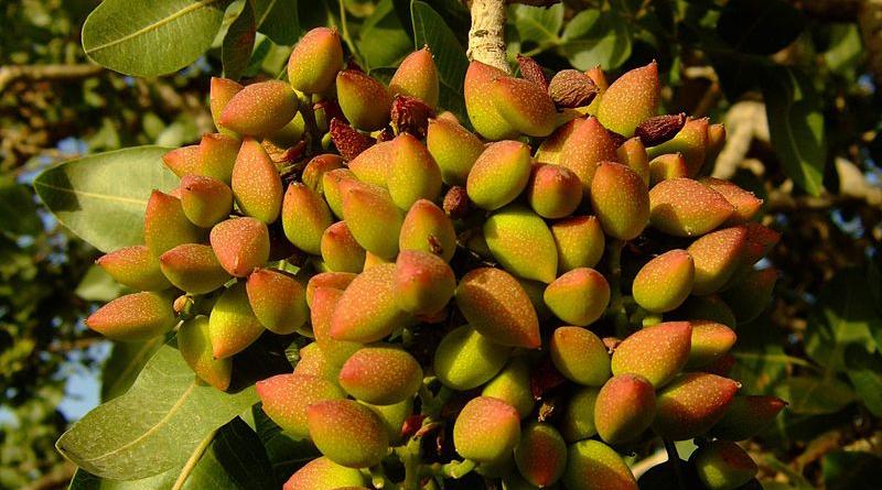 Reife Pistazienfrüchte am Baum - Bild: NAEINSUN - Eigenes Werk, CC BY-SA 3.0, https://commons.wikimedia.org/w/index.php?curid=27280686