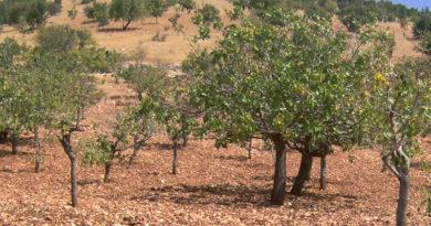 Symbolfoto Pistazienplantage