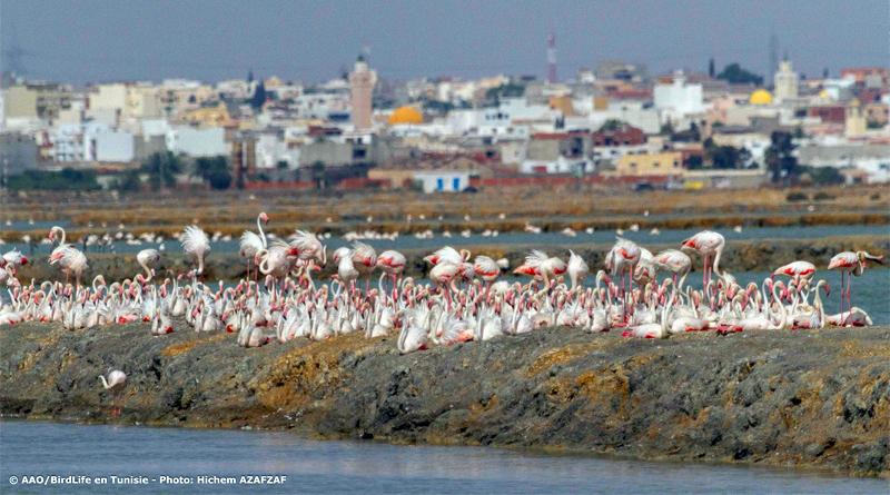 "Titelbild: Flamingos in Sahline - Bild: Association ""Les Amis des Oiseaux"" (AAO)"