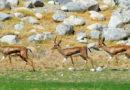 Die Atlasgazelle (Gazella cuvieri)