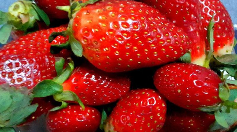 Tunesische Erdbeeren - Erdbeerernte 2020 auf der Halbinsel Cap Bon hat begonnen