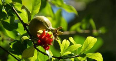 Förderprogramm Tunesischer Granatapfel