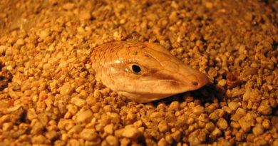Der Fisch der Wüste: Apothekerskink (Scincus scincus) oder auch Sandfisch
